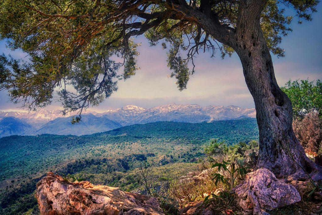 Olivenbaum-Patenschaft