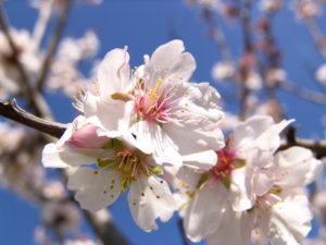 Mandelblüte im Frühjahr auf Mallorca, Spanien
