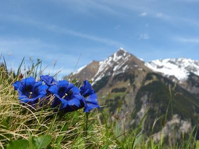 Alpen-Panorama mit blühendem Enzian
