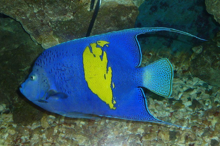 Arabischer Kaiserfisch im Roten Meer