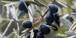 Schwarze Oliven am Baum